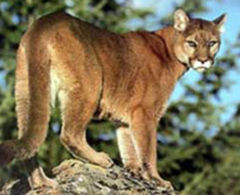 how to avoid mountain lion attack